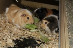 Guinea Pigs 101: Care and Management