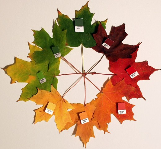 Maple leaves changing from green to red and orange in fall.