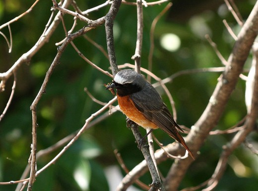 A male Common Redstart similar to the one I saw at Elmdon Park during the all day bird race.