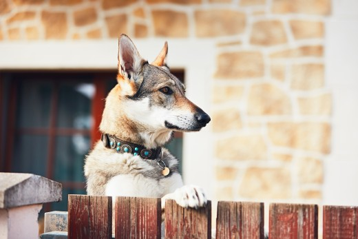 German Shepherd with a black collar, looking over a cherry-brown colored fence, and a marble stone home in the background.