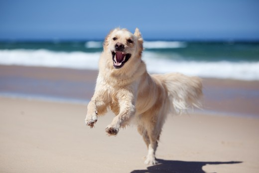Happy light-colored golden retriever running excitedly across a white sand beach.