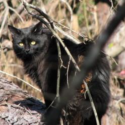 Star Noir, Our Beautiful Black Halloween Cat