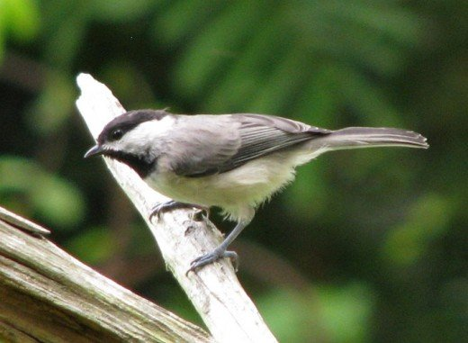 Carolina chickadees are small birds with big personalities.