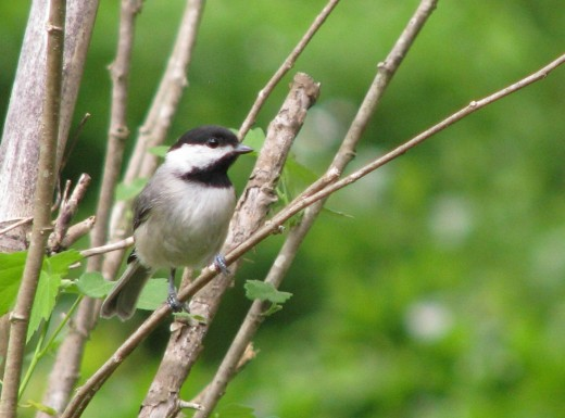 Young chickadees travel in family groups once they learn to feed themselves.