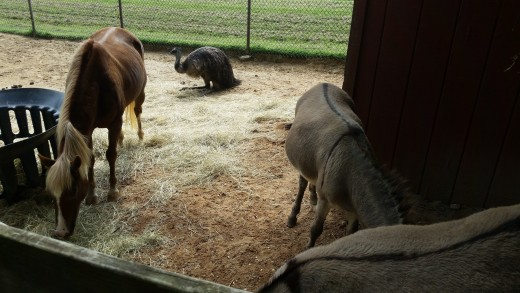 Strudel with her long time friends the donkeys, Julie and Buffy, and her Emu friend she met temporarily by accident after a fence failure a while back!