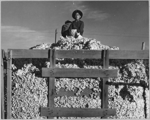 A young man is seen leveling down the cotton that others have picked and deposited in the truck for the cotton to be sold at a cotton gin near a bigger town.