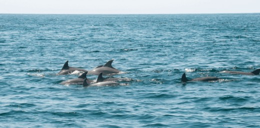 Pod of dolphins.