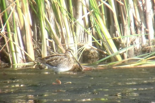 A photograph of one of the Common Snipe present at Napton Reservoir. Photo Source: James Kenny