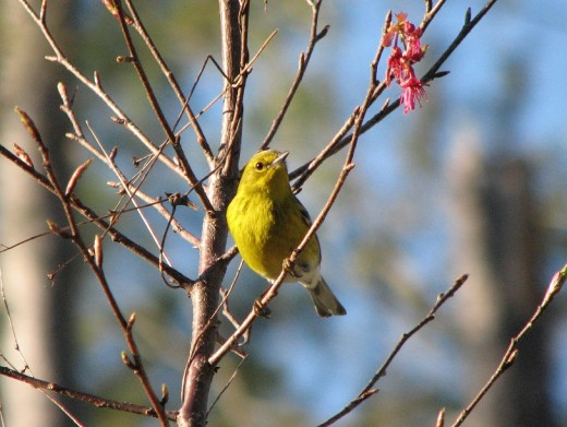Male Pine Warbler perching in a Taiwan cherry tree, waiting for a turn at the suet feeder in late winter.