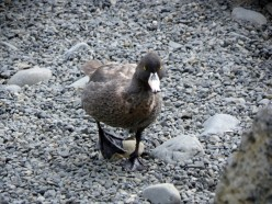 The New Zealand Whio or Blue Duck