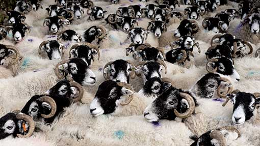 You'll probably see a fair numbers of these on your way through the area... Swaledale sheep - don't try to count them while you drive.