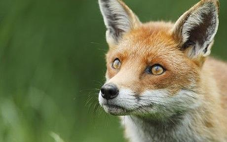 Red Fox (Vulpes vulpes) portrait, British Wildlife Centre, Sussex, UK - Oxford Scientific / Photolibrary