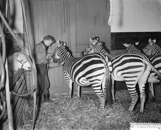 This old photo was taken in the Netherlands. These zebras were part of a circus and trained to tolerate halters. The animals were probably more for show than part of any act.