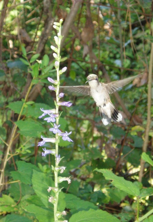 An immature or female ruby-throated hummingbird visits blue lobelia.