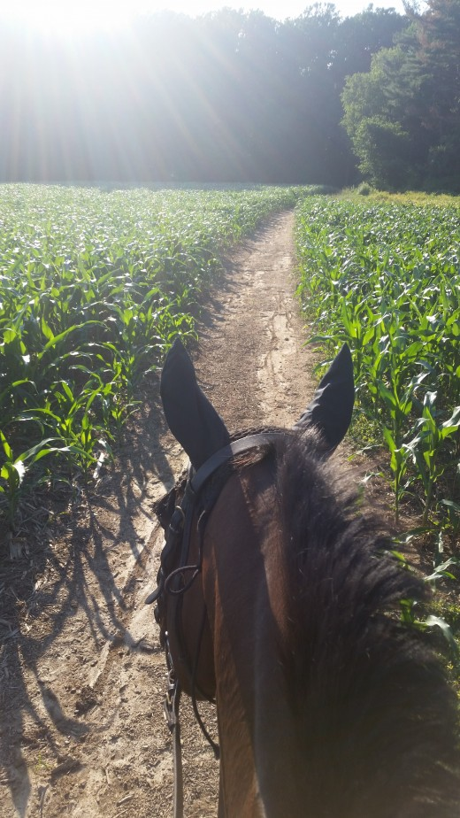 One of my favorite ways to do fitness days was to trailer the horses to one of our favorite state parks , they have corn fields with paths through them leading to the trails in the woods. Nice rolling hills make for the perfect place to do trot sets!