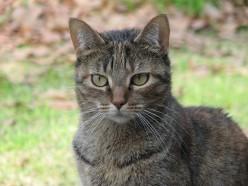 Blaze Star, Our Tabby Cat