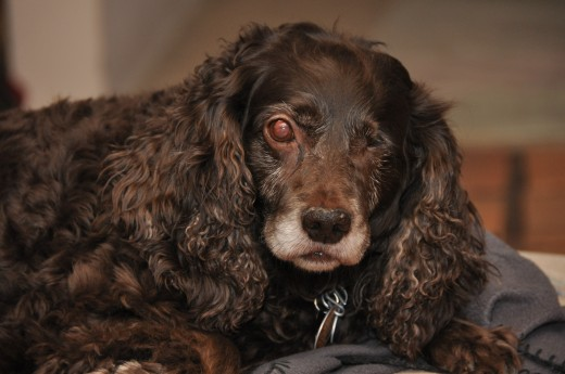 Our Beautiful Boykin Spaniel, Hope