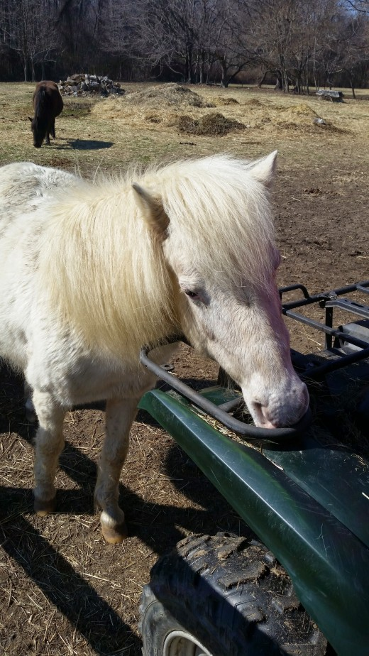This old lady Fluffer, and the old bay pony in the background Brownie. Were great old pony ride ponies for little tiny riders, but not up to regular riding lessons at their age.