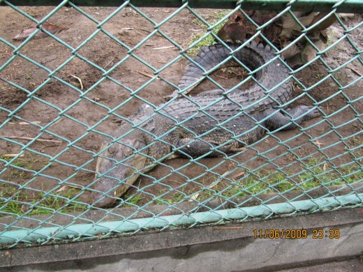 One of the 60 crocodiles in the Crocodile Farm