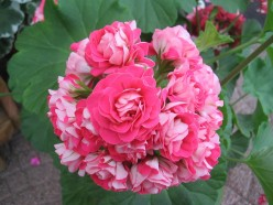 Freshen and Green Your Life With Geraniums