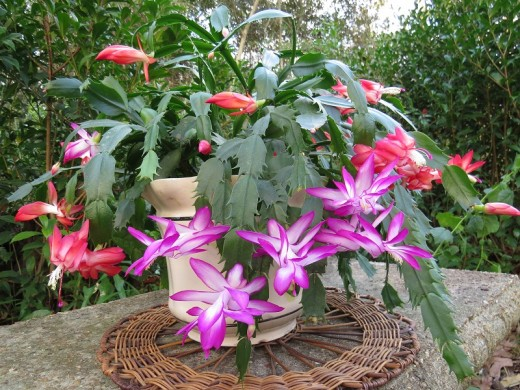 A variety of Christmas and Thanksgiving cactus that has been thriving for years. I took them outside on a warm fall/winter day for the photo.