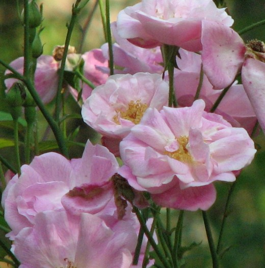 Heirloom roses such as this Noisette Pink Blush make the best gifts. Ones that can be passed down for generations.