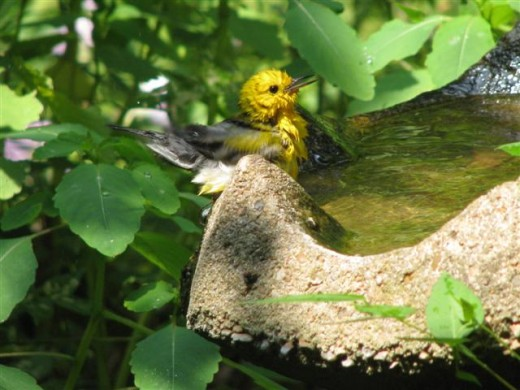 A Prothonotary warbler bathes and quenches his thirst on a hot summer day. They always nest in cavities near water.