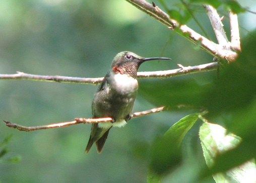Male ruby-throated hummingbirds usually stake out a feeder or a patch of nectar-rich flowers.