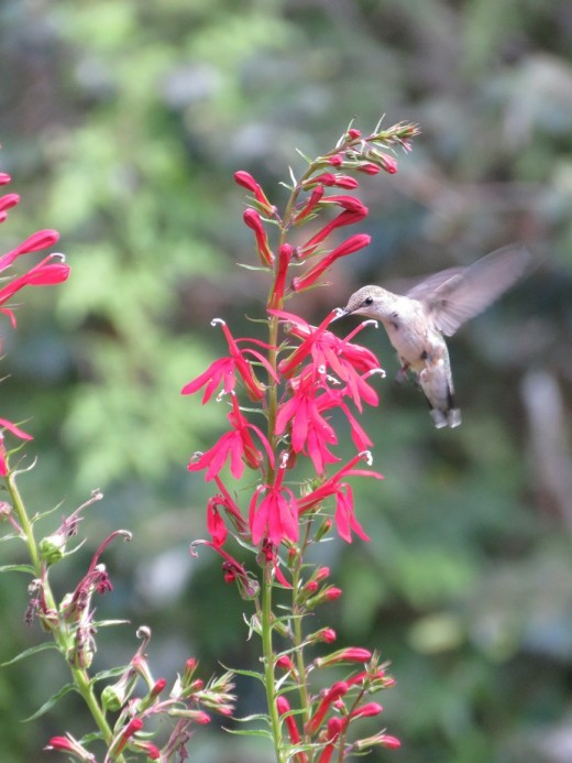 Cardinal flower (Lobelia cardinalis) is a native perennial flower which provides food for hummingbirds and other pollinators.