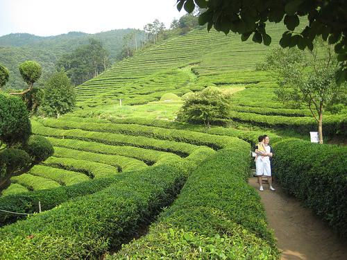 Green Tea Field in South Korea