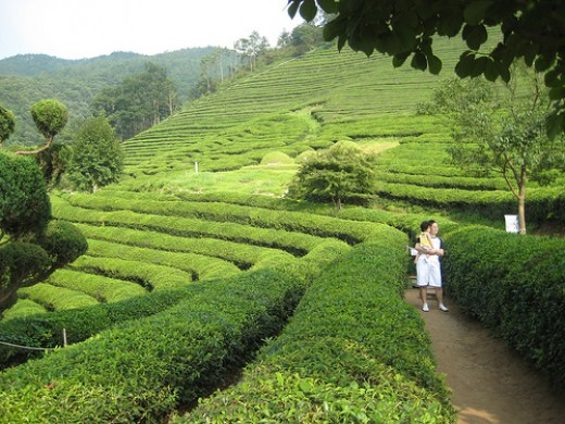 Green Tea Field in South Korea