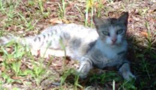 a white Felis Catus, posing!