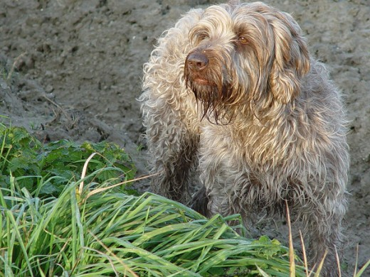 Wirehaired Pointing Griffon - Griffon Korthals