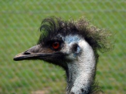 Emu                 Photo from: http://www.freedigitalphotos.net/images/photos/emu1.jpg
