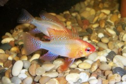 Cichlid            Photo from: http://upload.wikimedia.org/wikipedia/commons/1/1c/Gold_Ram_Cichlid.JPG