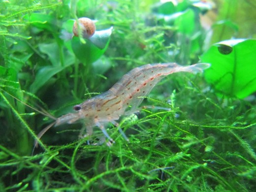 Shrimp in Java Moss Aquarium