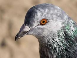 Pigeon Photo from: http://www.natures-desktop.com/wallpaper-previews/birds/pigeon.jpg