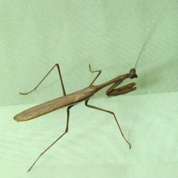 Praying mantis Photo from: http://upload.wikimedia.org/wikipedia/commons/d/d5/Australian_Praying_Mantis.jpg