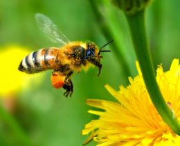 Honey bee Photo from: http://www.freewallpaperdesktopwallpaper.com/free-wallpaper-desktop-wallpaper-honey-bee-autan-picture.jpg