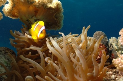 Clownfish picture of a clownfish protecting its anemone in the Red Sea