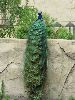 Peacock with full train