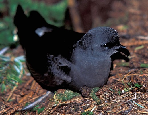 Photograph of a Leach's Storm Petrel or simply Leach's Petrel as its known in the UK. Source: Schwale, C via Wikimedia Commons