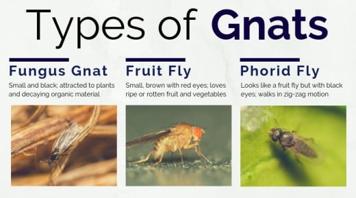 What Causes Gnats And How To Get Rid Of Them | Dengarden
