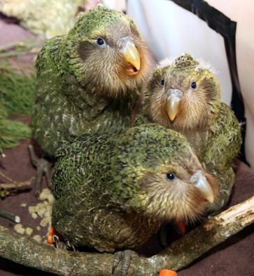 The mighty kakapo.