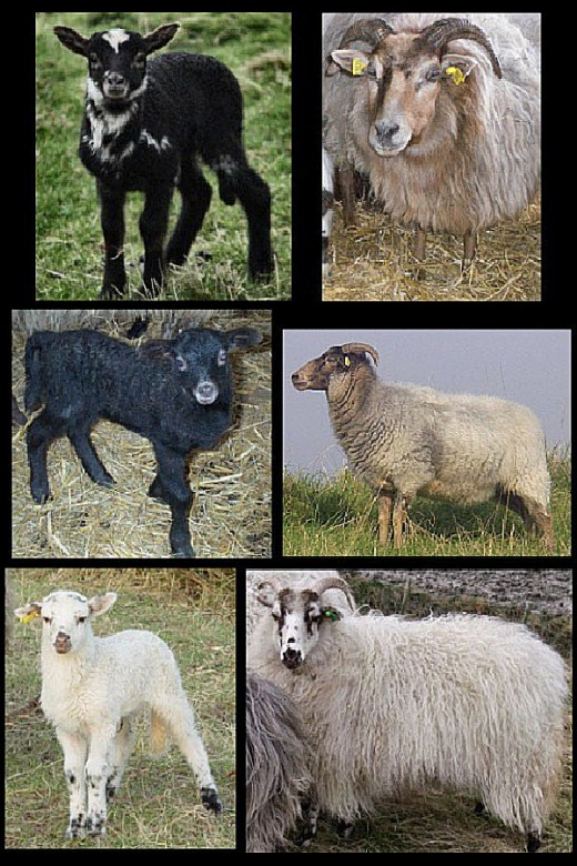 Change in color from lamb to adult ewe in Drenthe Heath Sheep