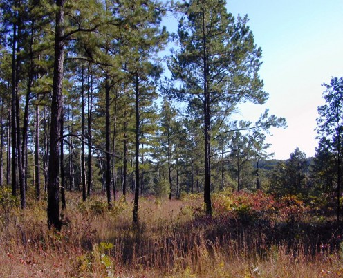 The pine forest with savannah, and a creek