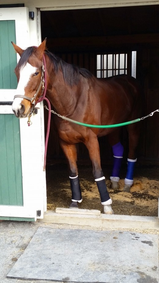 This is my heart horse Danny. I bought him knowing he would need the winter off to heal a bowed tendon. Unfortunately later that year he sustained a terrible puncture wound to his hock that ultimately ended his life. Rest in Peace sweet boy.
