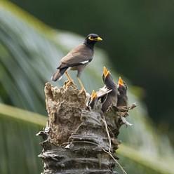 Mynah birds again