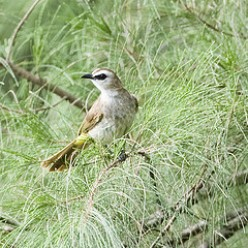 Yellow Vented Bulbul, one of our commonest birds, and they always nest close to the house and get really cross when you interrupt their feeding regime