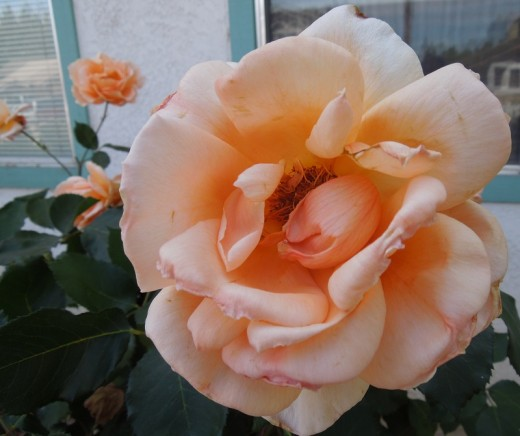"""This rose represents one writer in a community """"garden"""" of writers."""